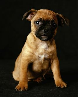 Puggle Dog - a crossbreed between a Beagle & a Pug, puppy