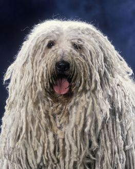 Puli / Hungarian Sheepdog - With mouth open