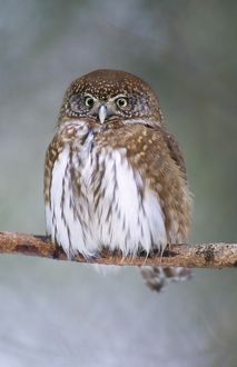 Pygmy OWL - perching, fluffed-out