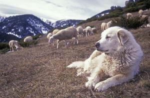 Pyrenean Mountain Dog - Protecting sheep