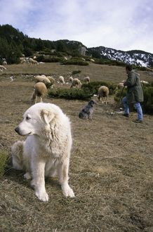 dec2014/1/pyrenean mountain dog protecting sheep herd
