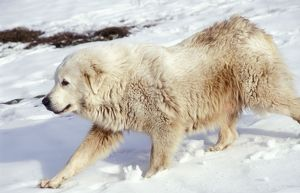 Pyrenean Mountain DOG - in snow