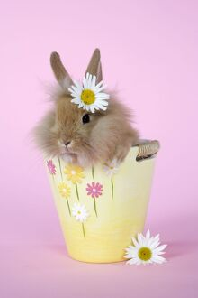 Rabbit - baby lion head rabbit (6 wks old) in a flower pot