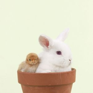 RABBIT & CHICK - Mini Ivory Satin Rabbit sitting in flower pot with chicks
