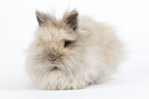 Rabbit - Dwarf Angora Blue and Tawny