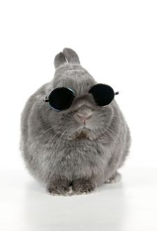 RABBIT - Dwarf rabbit wearing sunglasses