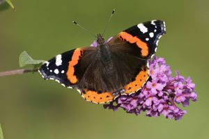 Red Admiral Butterfly - feeding upon Buddelia in garden.