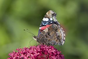 Red Admiral Butterfly - feeding on Valerian Flower