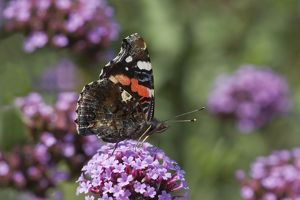 Red Admiral Butterfly - On Verbena bonariensis flower