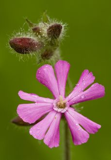 Red Campion - in flower, close-up