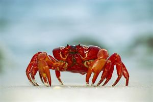 Red Crab / Land crab - Single crab on beach close up