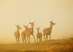 Red Deer - hinds in mist at sunrise