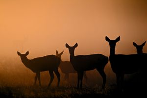 Red Deer - hinds at sunrise