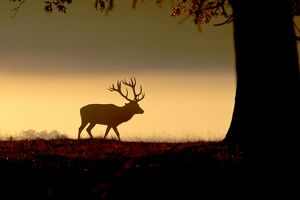 Red Deer - stag in mist at sunrise