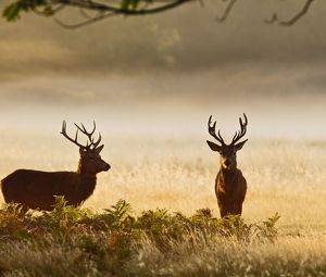 Red Deer - stags in mist at sunrise