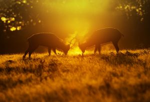Red Deer - stags rutting in mist at sunrise