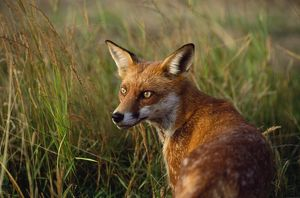 RED FOX - close-up in tall grass