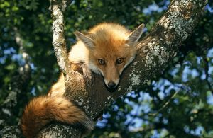 RED FOX - in tree, facing and showing tail