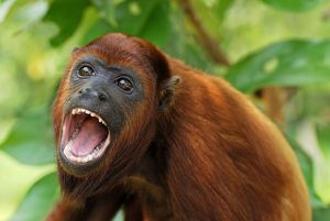 Red Howler Monkey - with mouth open