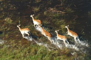 Red Lechwe - Aerial view of Red Lechwe Running in water