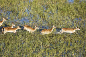 Red Lechwe - in a freshwater marsh - aerial view