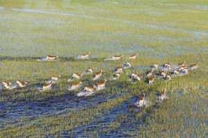 Red Lechwe - running in a freshwater marsh - aerial