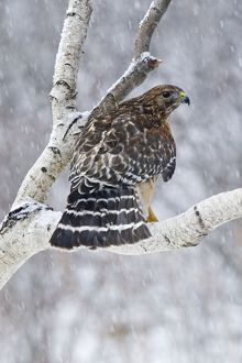 Red-shouldered Hawk - Adult bird in snowstorm