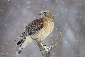 Red-shouldered Hawk - adult pale male in snow