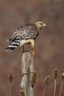 Red-shouldered Hawk - female perched on fence post