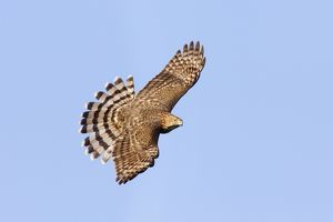 Cooper's Hawk - in flight, immature.