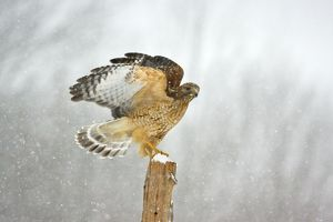 Red-shouldered Hawk - in snowstorm.