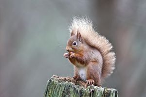 Red Squirrel - eating nut
