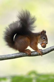 Red Squirrel - with hazel nut in mouth on branch