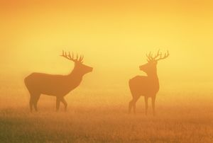 Red Stags - at sunrise in atmospheric conditions