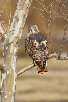 Red-tailed Hawk - adult.