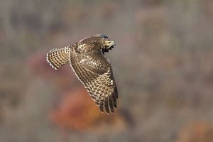 Red-tailed Hawk - Immature.