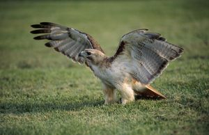 RED-TAILED HAWK - WINGS SPREAD