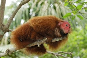 Red Uakari / Bald Uacari