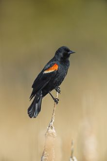 Red-winged Blackbird Agelaius phoeniceus Perched in Ca