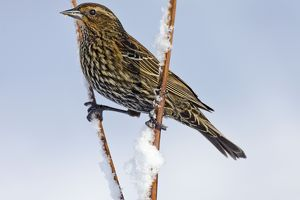 Red-winged Blackbird - female in snow - February