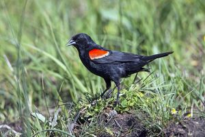 Red-winged Blackbird male on ground calling - Yellowstone