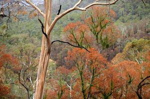 Regrowth on Eucalyptus trees after bushfire.Davies