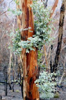 Regrowth on Eucalyptus trees after bushfire.Epicormic
