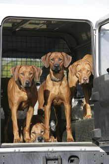Rhodesian Ridgeback dogs in a Landrover / car boot