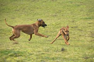 Rhodesian Ridgeback - two fighting / playing with one showing submissive behaviour