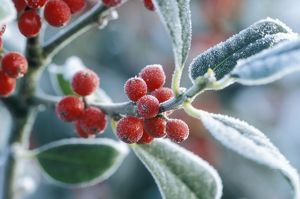 Rimed berries of the holly - Frosted