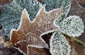 Rimed Oak Leaf - with frost
