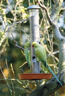 Ring-necked / Rose-ringed Parakeet - on bird feeder