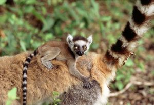 RING-TAILED LEMUR -BABY ON BACK