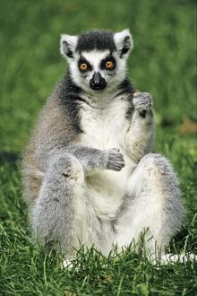 Ring-tailed Lemur - portrait, sitting on grass